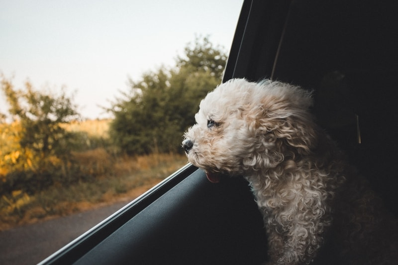 Dog in a car looking at the view
