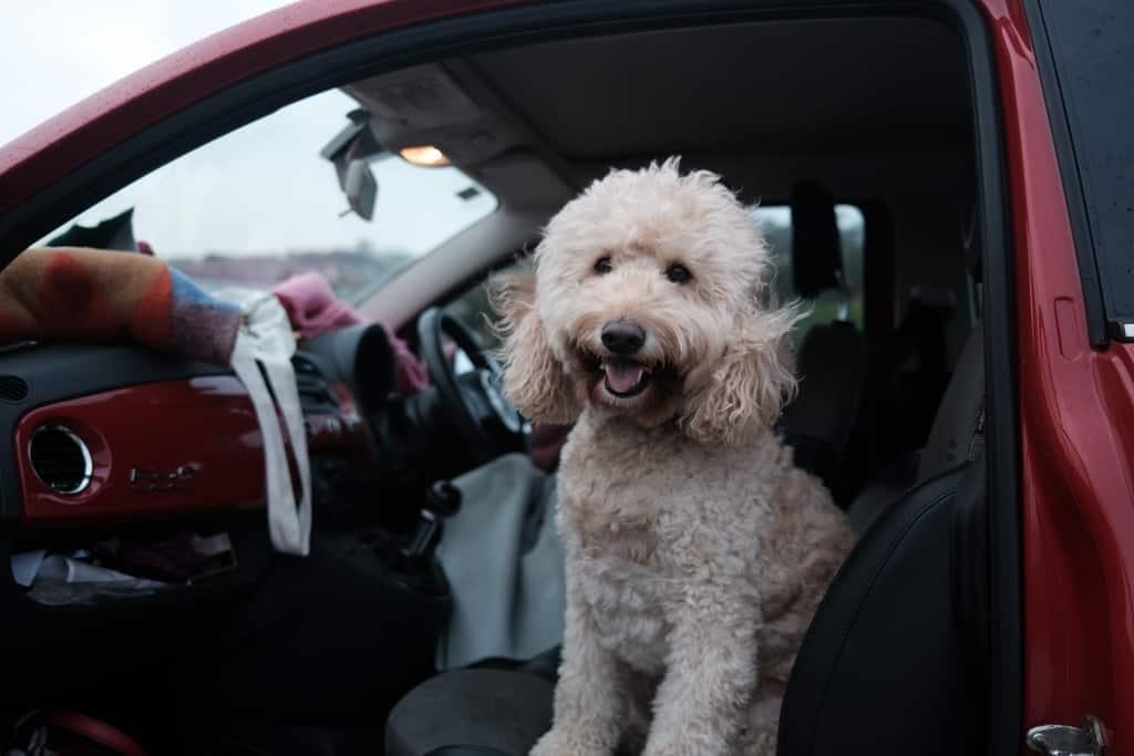 Golden-doodle dog in car